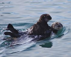 Sea Otter and pup #Monterey #California