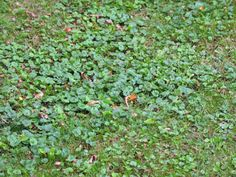 Creeping Charlie, also known as Ground Ivy, is an evergreen creeping weed that is found in the mint family. It is also a nuisance for homeowners that are looking to keep their Kentucky Blue grass l…