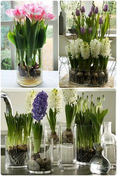 tulips garden care How can tulips and hyacinths be grown without land use Tulips Garden, Green Garden, Garden Pots, Vegetable Garden, Garden Care, Indoor Flowers, Indoor Plants, Growing Tulips, How To Grow Tulips