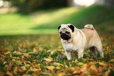 Pug observing leaves