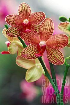 Phalaenopsis Brown Sugar Orchid...