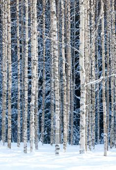 Snowy Birch Forest wall mural