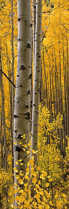 ~~Aspen Intimacy Lite ~ autumn in the Four Corners by Www.barrybaileyphotography.com~~