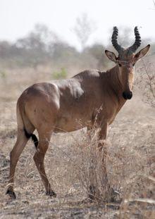 Western Hartebeest (Alcelaphus buselaphus major)