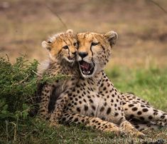 Jav Mom and Cheetah Cub Doing a Little Communicating. Scary Animals, Animals And Pets, Cute Animals, Beautiful Cats, Animals Beautiful, Big Cat Family, Baby Cheetahs, Cheetah Cubs, Gato Grande