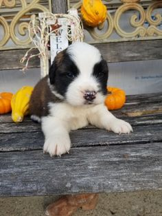 Breed: Saint bernard Gender: Male Registry: AKC Personality: sweet Date Available: Nov 19 2020 Max is a lovable Saint bernard puppy sporting a sweet personality straight to the core! Max loves to cuddle, play and catch puppy snoozes. Whether it's joining a rambunctious family or coming along side an active single, Max is sure toRead More The post Max appeared first on VIP Puppies - Puppy Finder - Puppies for Sale & Puppies for Adoption. If you've enjoyed this post, be sure to follow VIP…