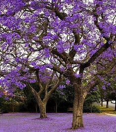 Jacaranda tree [This is one of the things I like best about jacarandas--that they give you a lovely purple carpet even while there's plenty of bloom left on the tree. Beautiful World, Beautiful Gardens, Beautiful Flowers, Beautiful Places, Beautiful Mess, Stunningly Beautiful, Beautiful Scenery, Beautiful Landscapes, Purple Love