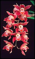 Cymbidium (Firewheel x Looker). A hybrid orchid ( color)