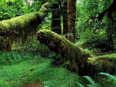 Hoh rainforest in Washington state.  The moss on the trees make them look almost like dinosaurs of some sort.