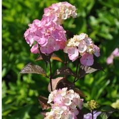 HYDRANGEA SERRATA ' PREZIOSA' (syn. Hydrangea macr. 'Preziosa' 'Preciosa') - 'Pink Beauty'. Transplanted.