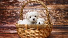 Teacup Maltese Puppy Picture For Desktop And Mobile In High Resolution (1920x1080) Need #iPhone #6S #Plus #Wallpaper/ #Background for #IPhone6SPlus? Follow iPhone 6S Plus 3Wallpapers/ #Backgrounds Must to Have http://ift.tt/1SfrOMr