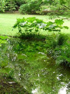 Jardins Albert-Kahn - Darmera peltata en bord de mare