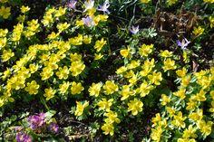 Winterlinge kommen mit ihren kleinen, gelben Blüten vor allem als Gruppen gepflanzt sehr gut zur Geltung. Ein echter Schatz im Frühlingsgarten! Pflanzzeit ist im Herbst als Blumenzwiebel.