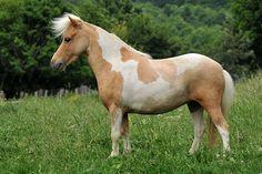 10 best american miniature horse images miniature horses race rh pinterest com