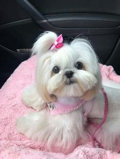 30 Trendy Ideas Dogs And Puppies Breeds Shih Tzu Shih Tzu Hund, Perro Shih Tzu, Baby Shih Tzu, Shih Tzu Puppy, Shih Tzus, Shitzu Puppies, Tiny Puppies, Cute Puppies, Cute Dogs