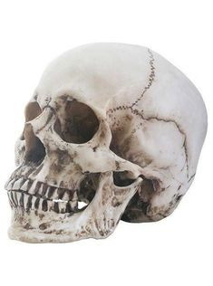 Realistic Faux Life Size Human Skull Head Skeleton Sculpture Statue Halloween Prop It measures approximately 6 high by wide by deep. Skull Head, Skull Art, Skull Decor, Sgraffito, Skull Side View, Skull Reference, Pose Reference, Anatomy Reference, Skull Sketch
