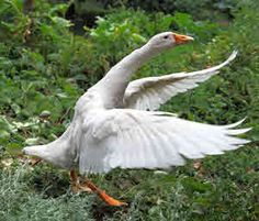 Guide to Raising Geese