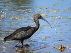 Bird Photos, Birding Sites, Bird Information: GLOSSY IBIS, OSSIE'S POND, PUNTA GORDA, FL