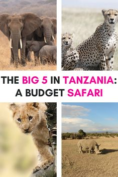 A budget safari in Tanzania is a fantastic way to experience the country's wildlife, creating unforgettable memories. Here's what to expect from a budget safari | Safari Tanzania | Safari Tanzania National Parks | Tanzania travel | Tanzania safari | Tanzania safari Serengeti | Tanzania safari lodges | Tanzania safari animals | Tanzania honeymoon safari | Camping Safari Tanzania | Serengeti National Park Tanzania | Tanzania Serengeti National Parks | Serengeti Safari | Serengeti Safari Camp Travel Guides, Travel Tips, Travel Abroad, Budget Travel, Travel Destinations, Tanzania National Parks, Tanzania Safari, Countries To Visit, Africa Travel