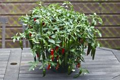 """Grow Sport Pepper Plants - These medium to hot peppers are an essential condiment on the """"Famous Chicago Style Hotdog"""". The tangy and zesty flavor is great on sandwiches and other foods too."""