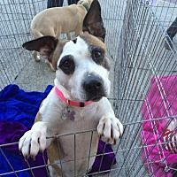 Pictures of Baby a Pit Bull Terrier for adoption in Acworth GA who needs a loving home.