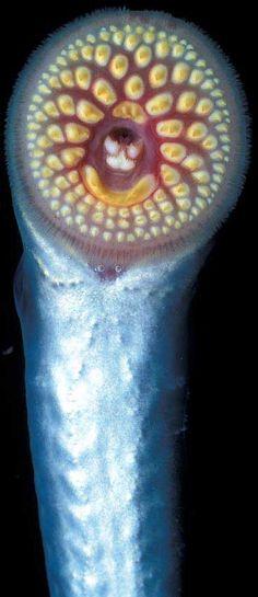 49 Best Lamprey Art Images Fish Pisces Mouths