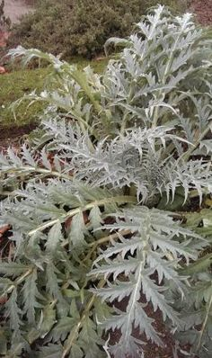 Cardoon plant http://www.growplants.org/growing/cardoon