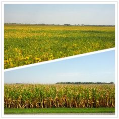 Corn and soybeans are changing color.