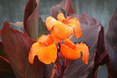 I'm betting you want to know more about canna lily flowers, and why not, plant them! So, here we go: the complete guide to growing and caring for canna lily Tropical Garden, Tropical Plants, Exotic Plants, Tropical Flowers, Canna Bulbs, Canna Flower, Macro Flower, Strawberry Planters, Full Sun Perennials