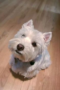 Terrier head tilt!
