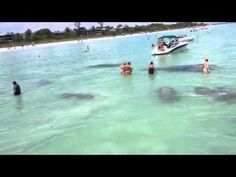 Manatees-Sanibel Island. Look but do not touch they are protected by FL Law.