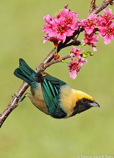 burnished-buff tanager I love pretty birds Kinds Of Birds, All Birds, Little Birds, Love Birds, Pretty Birds, Beautiful Birds, Animals Beautiful, Exotic Birds, Colorful Birds