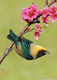 burnished-buff tanager I love pretty birds Kinds Of Birds, All Birds, Little Birds, Love Birds, Pretty Birds, Beautiful Birds, Animals Beautiful, Cute Animals, Exotic Birds