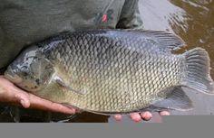 Cara gurame agar cepat besar, cara budidaya ikan gurame di kolam terpal mudah, cara budidaya gurami kolam tembok,