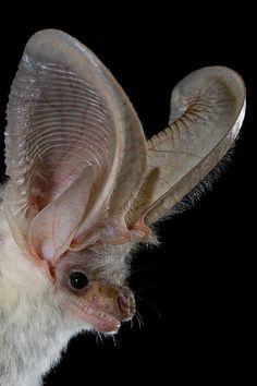 Lappet-eared Bat, Plecotus christii, Egypt, via Flickr.