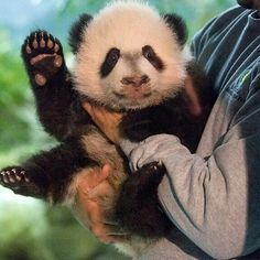 Bei Bei ..when he was introduced for the first time ...waving to his adoring fans..