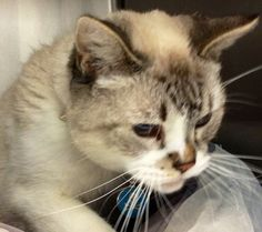 SENIOR ALERT! 10 year old Mr. Cat came in as a stray with a name tag on a collar. The shelter called the owners who never came. Unbelievable. He's beautiful and friendly , neutered Siamese mix, Lynx Pt. A1413201. He became available for adoption today. He's at the East Valley shelter in Van Nuys, California. For more info call (818) 756-9323