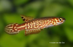 ... fishplore com arabian killifish aphanius dispar 2 saved by vic hsueh
