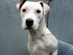 GONE - BE AT PEACE  5/18/14  Manhattan Center    My name is LUNA. My Animal ID # is A0999798.  I am a female white and brown pit bull mix. The shelter thinks I am about 8 MONTHS old.   I came in the shelter as a OWNER SUR on 05/14/2014  SCARED BABY NEEDS A HERO!!