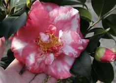 R.L. Wheeler Camellia japonica. Salmon red semi double anemone. Spring. Kinsey Family Farm Gainesville, GA.