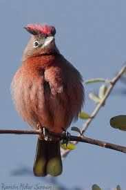 red crested finch - Google Search
