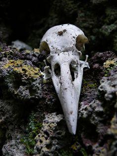 Raven *** skull