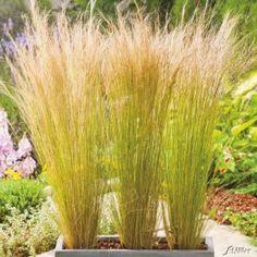 Federgras 'Windspiel' jetzt günstig in Ihrem MEIN SCHÖNER GARTEN - Gartencenter schnell und bequem online bestellen.