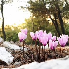 Winter is coming.  #cyclamen #wildflowers #plantlife  #tv_flowers #alovefornaturesbest  #underthefloralspell #ig_greece #nature_greece #bestnatureshot #fiftyshades_of_nature #pocket_allnature #tv_allnature #instagood10k #gs10k #agameof10k #justgoshoot #whatisee #thehappynow #thatsdarling #socality #mytinyatlas #openmyworld #makemoment #iphoneonly #iphoneography #mobiography #outofthephone #jj_mobilephotography