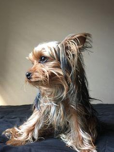 Dog And Puppies Drawings .Dog And Puppies Drawings Silky Terrier, Terrier Breeds, Dog Breeds, Cute Puppies, Cute Dogs, Asian Dogs, Animals And Pets, Cute Animals, Yorky