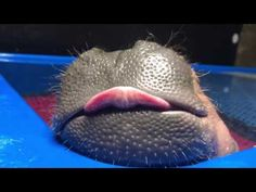 Dreaming Baby Hippo is the Cutest Thing You'll See Today! - Neatorama