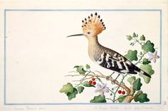 Pieter Cornelis de Bevere (1722 - c1781) Watercolour, c1754 - 1757, © Natural History Museum