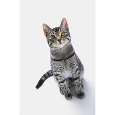 26042 Best Tabby Cat Pics Images Kittens Cutest Cats