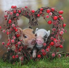 I wish ruby was this cute and had a boyfriend like these ill piggles!