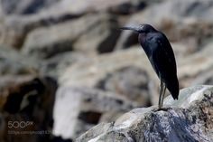Little Blue Heron by The-Spirit-Within #animals #animal #pet #pets #animales #animallovers #photooftheday #amazing #picoftheday
